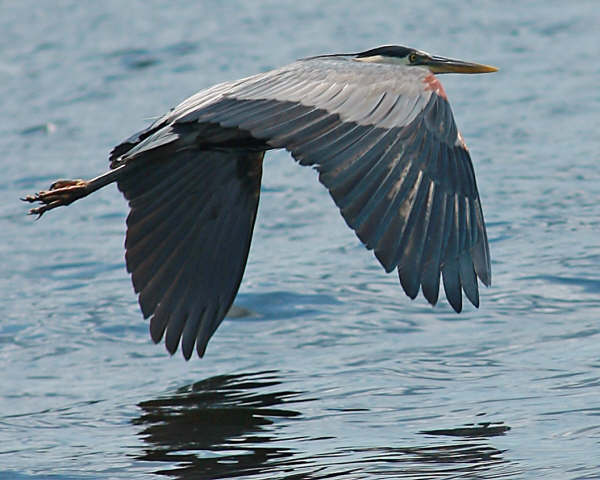 Great%20Blue%20Heron%20June%2008%20-%20Missy%20Mandel.jpg