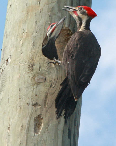 Pileated%20Woodpecker%20(3)%20June%2008%20-%20Missy%20Mandel.jpg