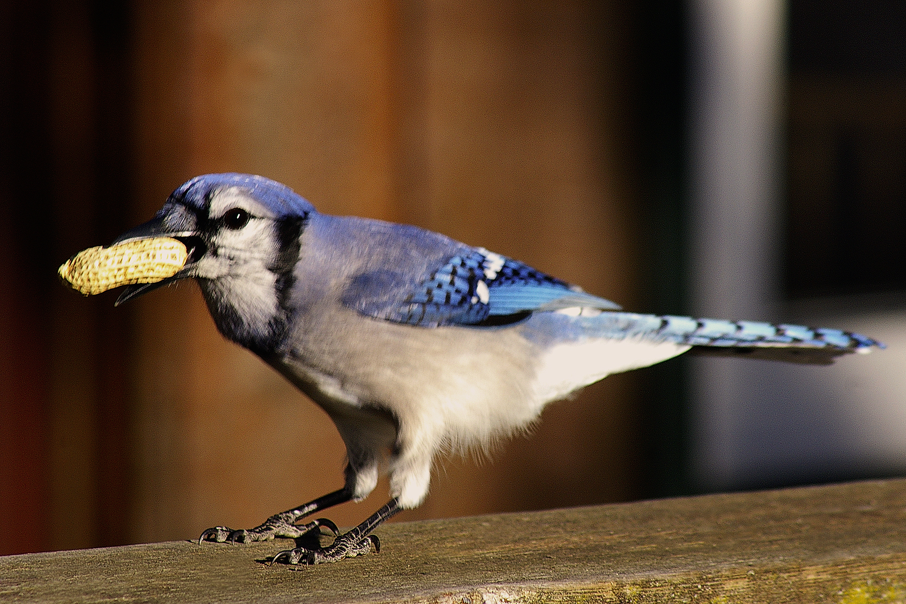 Blue Jay - Rick Smith at Lindsays.jpg